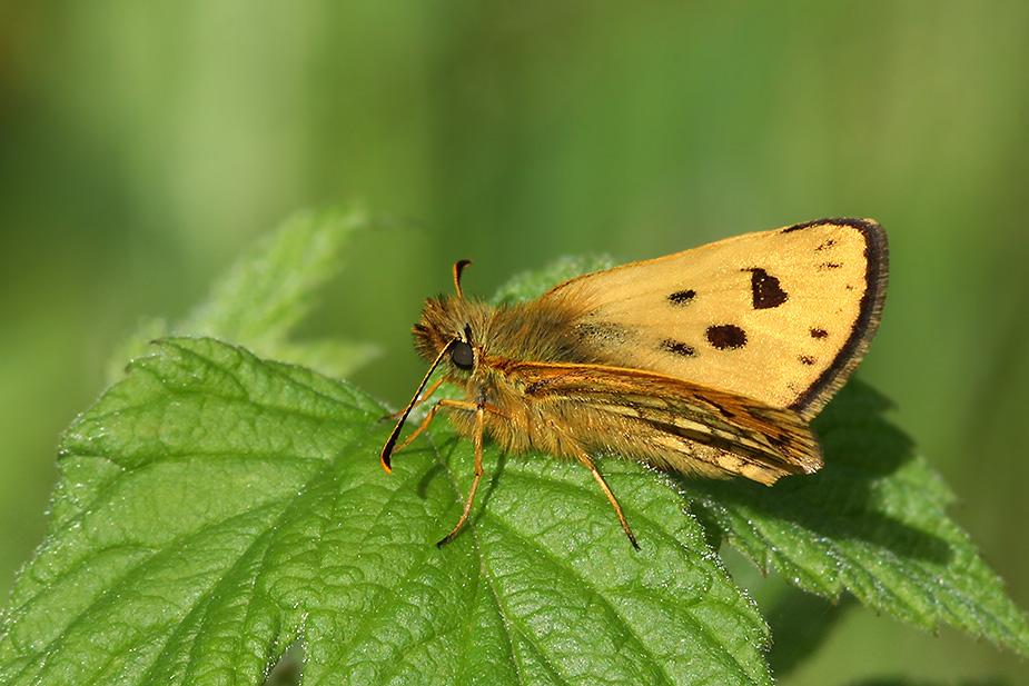 Carterocephalus silvicola - Sortplettet Bredpande