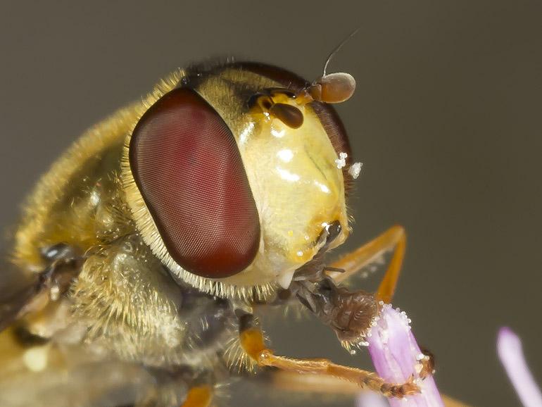 Xflue Syrphus vitripennis (Lille havesvirreflue)