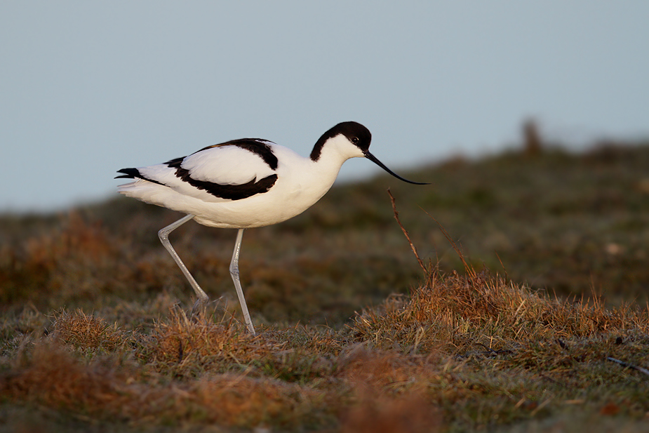Recurvirostra avosetta - Klyde
