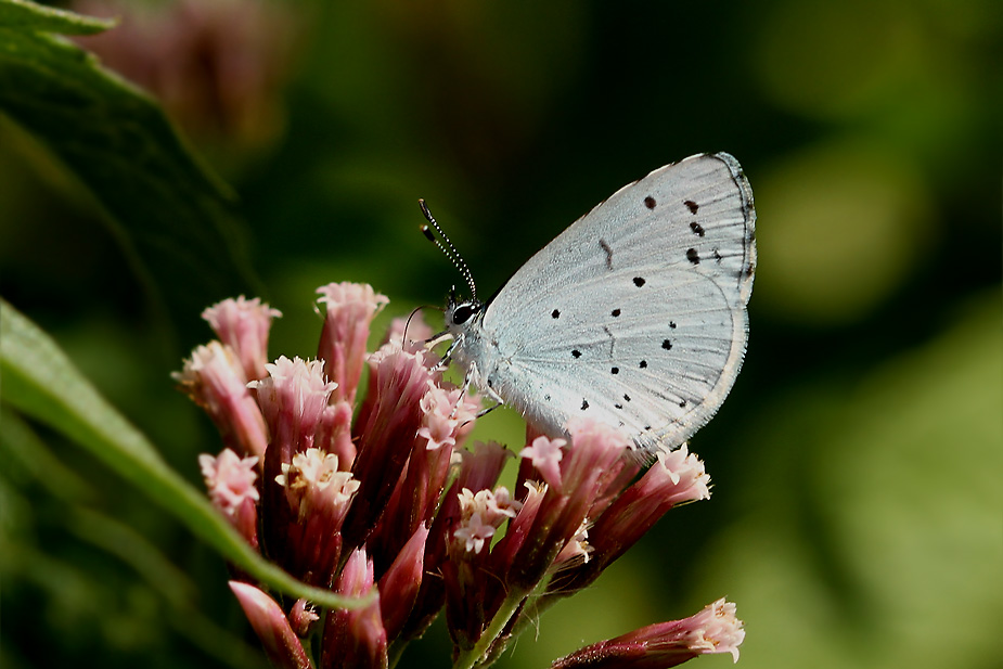 Celastrina argiolus - Skovblåfugl