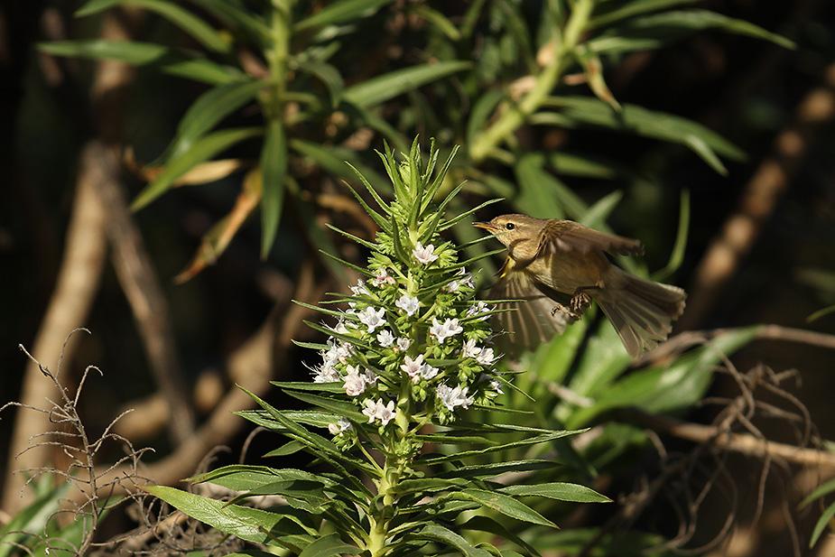 Phylloscopus canariensis - Kanarisk Gransanger