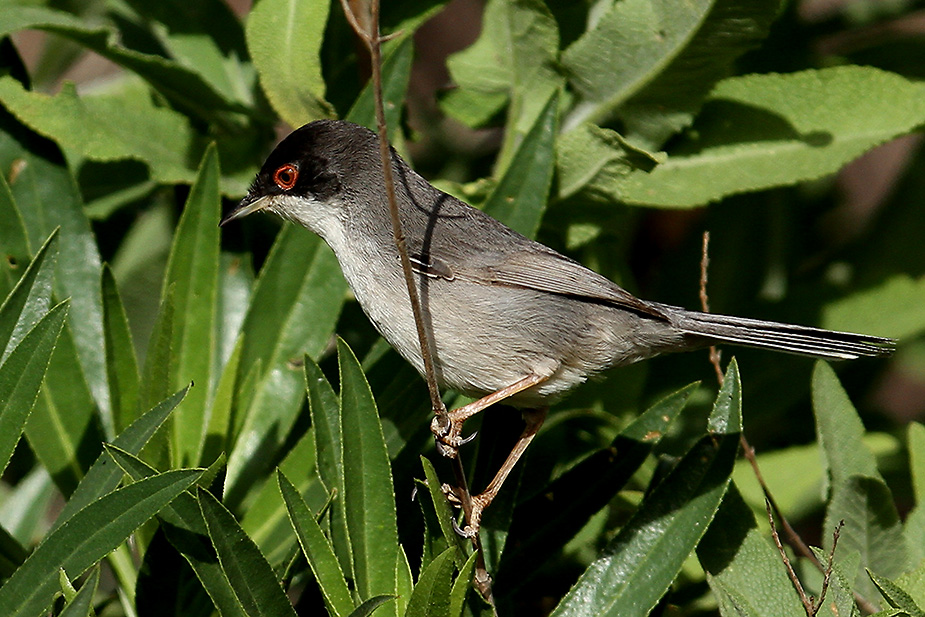 Sylvia melanocephala - Sorthovedet Sanger