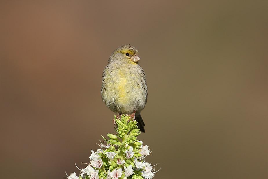 Serinus canaria - Kanariefugl