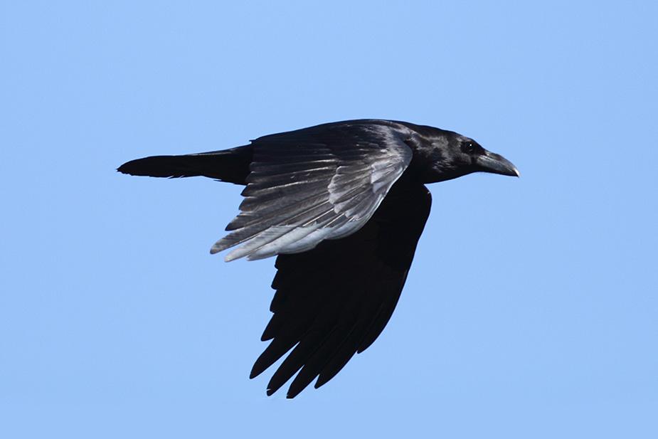 Corvus corax ssp. canariensis - Ravn