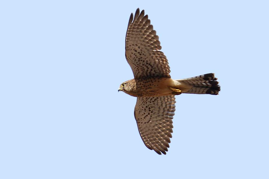 Falco tinnunculus ssp. canariensis - Tårnfalk