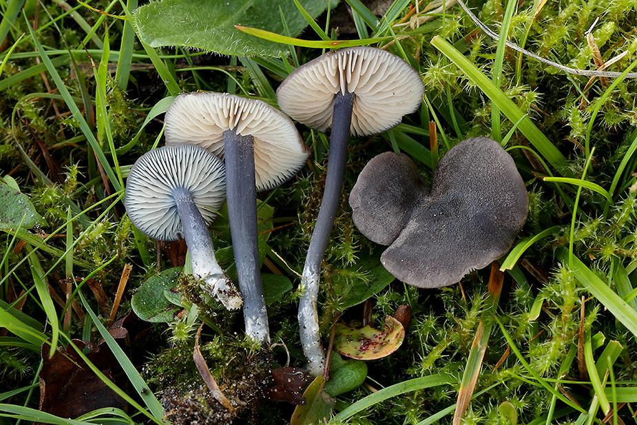 Entoloma atrocoeruleum (Sortblå rødblad)