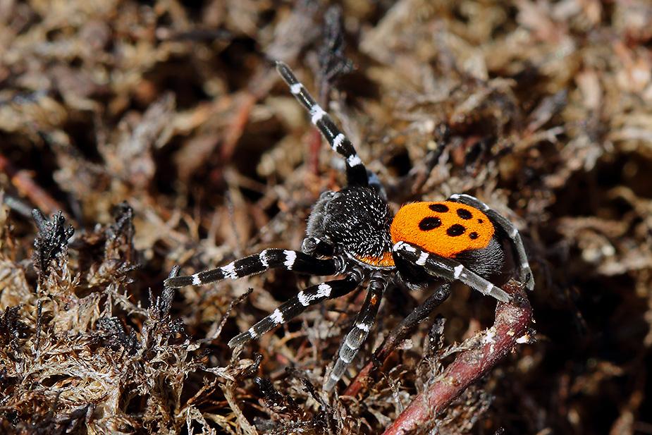 Eresus sandaliatus - Mariehøneedderkop
