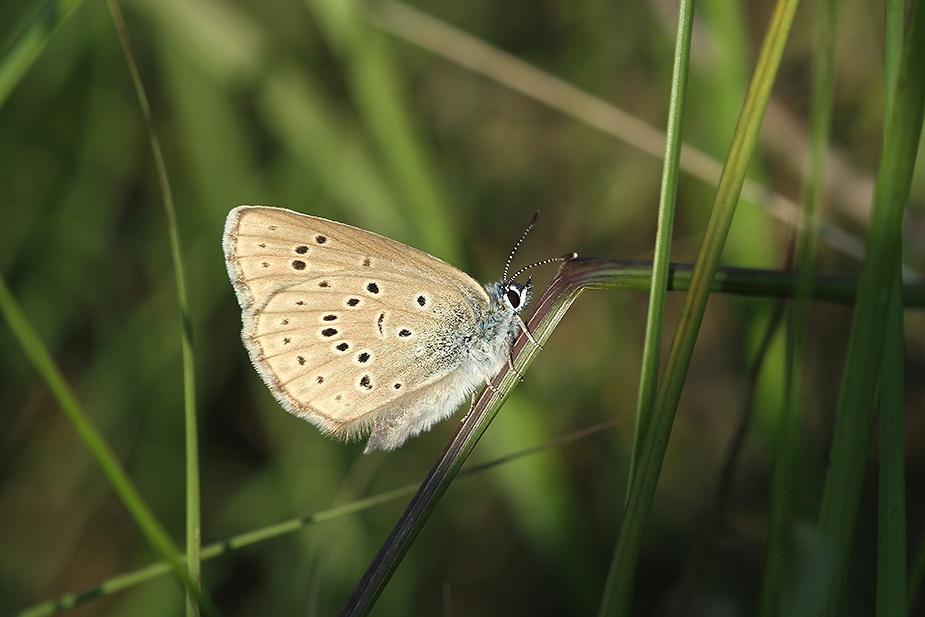 Maculinea alcon - Ensianblåfugl