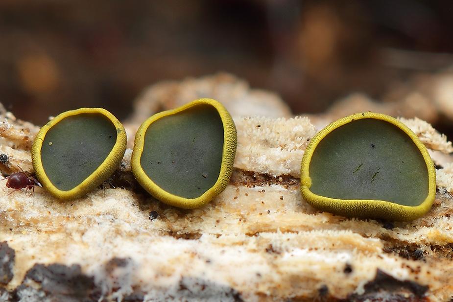 Catinella olivacea - Olivenskive