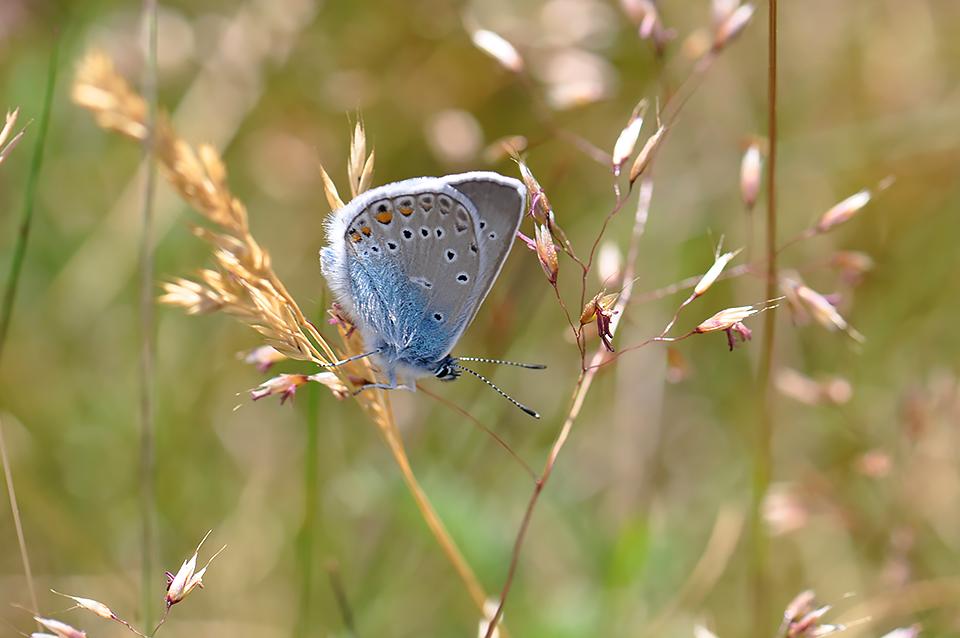 Polyommatus amandus - Isblåfugl