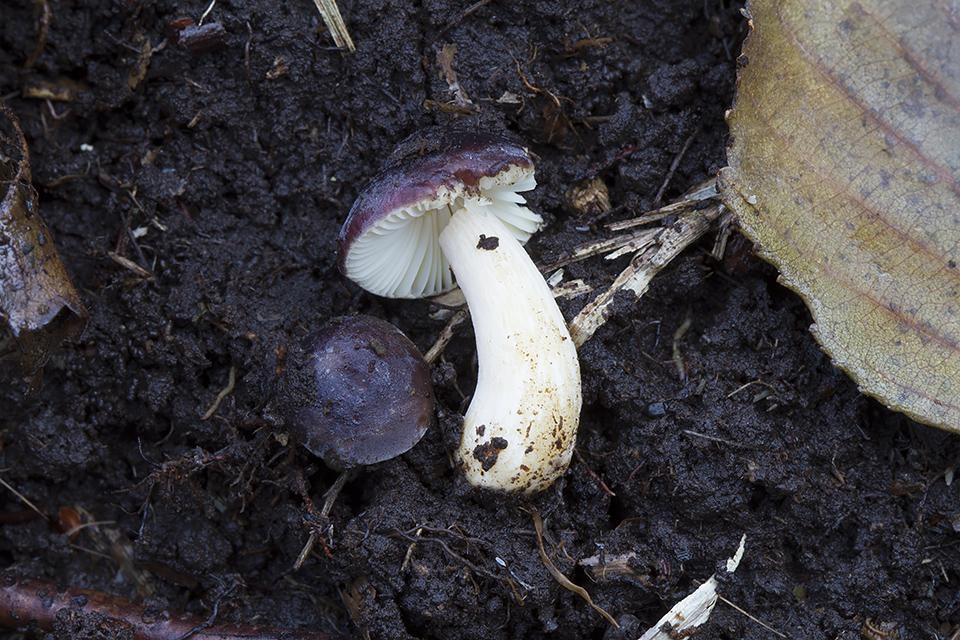 Russula alnetorum - Elle-skørhat