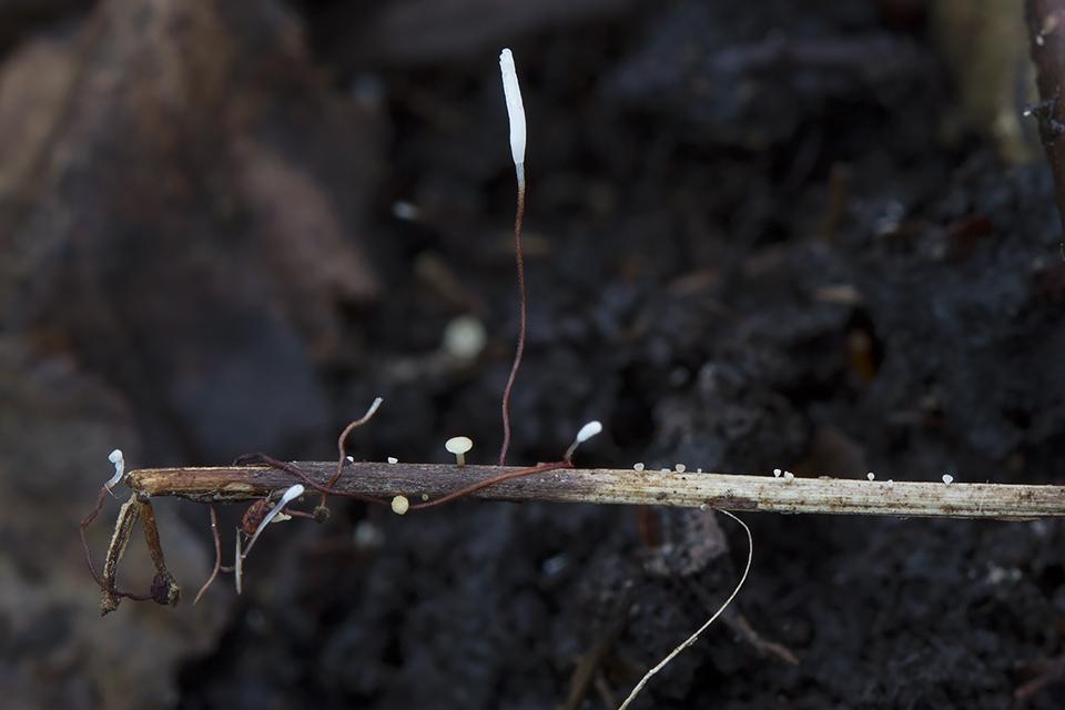 Typhula erythropus - Rødstokket trådkølle