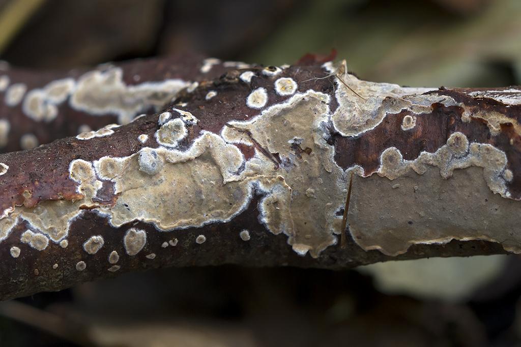 Exidiopsis griseobrunnea