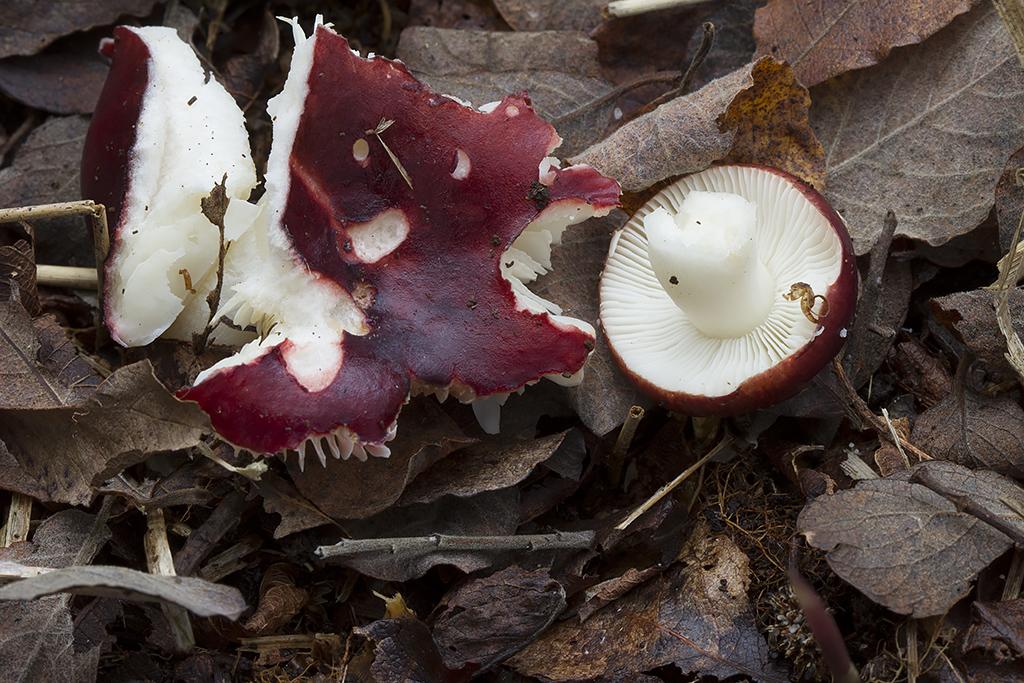 Russula laccata - Klit-skørhat